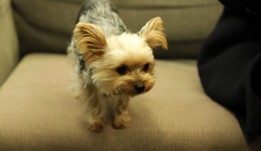 ヨークシャーテリアの毛色はどう変わる?愛犬の写真から見る変化の様子