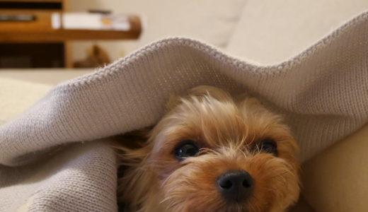飼い主が新型コロナにかかってしまったら、愛犬はどうなる?